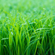 Dew on top of green grass - Stock Photo