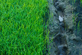 Green grass of rice field — Stock Photo