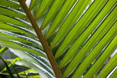 Drops on plam tree leaf — Stock Photo