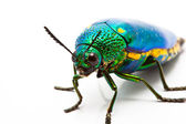 Metallic wood boring beetle (Chrysochroa saundersi — Stock Photo