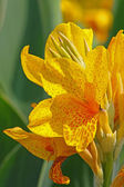 Yellow lily — Stockfoto