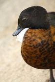 Ducky kuş — Stok fotoğraf