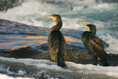 Two cormorants — 图库照片