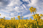 Il campo di colza — Foto Stock