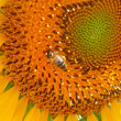 Stock Photo: Bee at sunflower