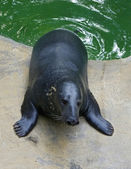 Seal has got out of water — Stok fotoğraf
