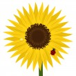 Sunflower with ladybird and dew — Imagen vectorial
