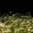 Daisies on black background — Stockfoto