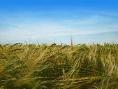 Wheat field in the sun — Stock Photo