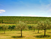 Olive trees in front of a hill with vineyards — Stock Photo