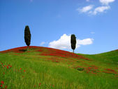 Summer meadow with two cypresses and red flowers — Stock Photo