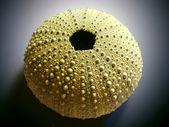 Skeleton of the sea urchin — Stock Photo