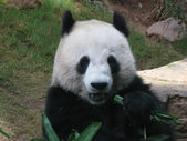 Panda eating front — Stock Photo