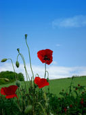 Poppies on blue sky with little bug — Stock Photo