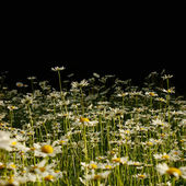 Daisies on black background — Stock Photo