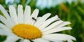 Mało mrówka na stokrotka — Zdjęcie stockowe