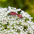 Two red and black striped beetles — Stock Photo #6375202