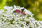 Two red and black striped beetles — Stock Photo
