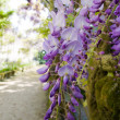 Blossom wisteria - Stock Photo