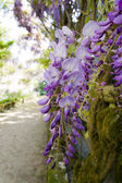 Blossom wisteria — Stock Photo