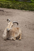 Barbary sheep, Ammotragus lervia — Stock Photo