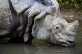 Detail nosorožce, pití, rhinoceros unicornis — Stock fotografie