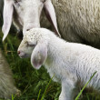Mother Sheep with baby lambe - Stock Photo