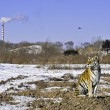 Tiger with pollution — Stock Photo