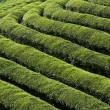 Green Tea Fields — Stock Photo #6606322