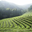 Stock Photo: Rows of Green Tea