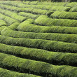 Green tea terrace field — Stock Photo