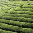 Stock Photo: Green teterrace field