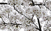 Blooming Cherry tree — Stock Photo
