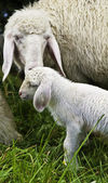 Mother Sheep with baby lambe — Stock Photo
