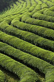 Green Tea Fields — Stock Photo