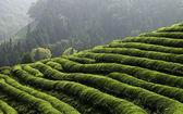 Grönt te fältet — Stockfoto