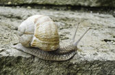 Large brown snail — Stock Photo