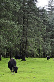 Yak Grazing in Meadow — Stock Photo