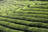 Green tea terrace field — Stock Photo