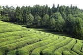 Green tea field — Stock Photo