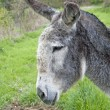 Stock Photo: Gray donkey profile