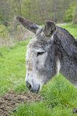 Gray donkey profile — Stock Photo