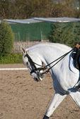 White horse profile — 图库照片