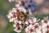 Una abeja polinizando — Foto de Stock