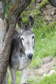 Donkey looking — Stock Photo