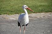 Stork standing — Stock Photo