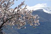 Migdałowego drzewa — Zdjęcie stockowe