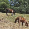 Stock Photo: Two horses eating grass