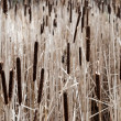Cattail field — Stock Photo #6380345