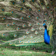 Peacock — Stock Photo #6380904